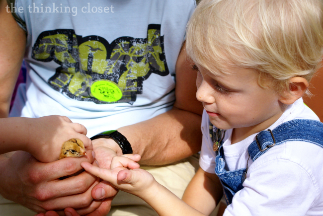 Petting baby chicks